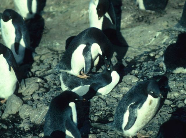 Early each austral summer, Adelie penguins can be seen mating. Picture