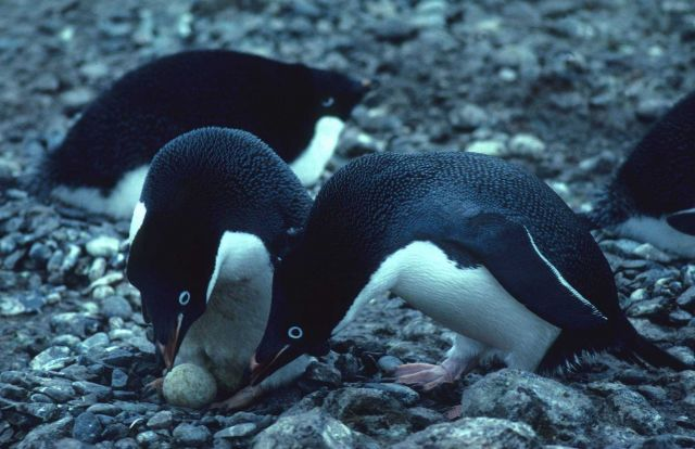 A pair of nesting Adelie penguins, guarding the first egg of the clutch. Picture