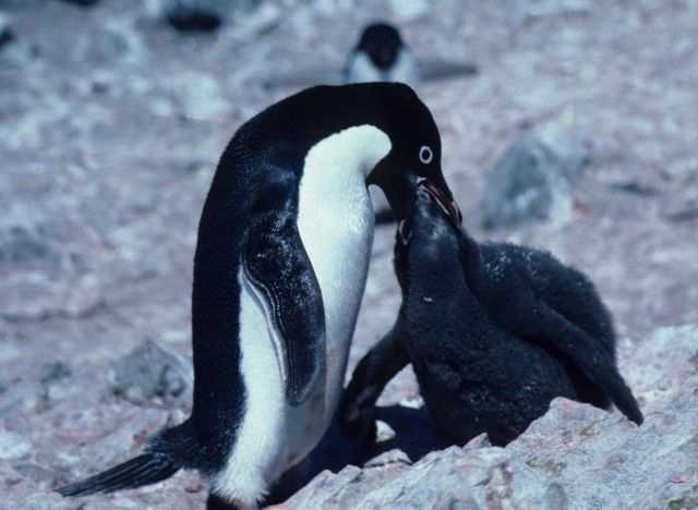 This Adelie penguin, recently returned from foraging, is feeding its chick, has been waiting for its parent's return for several days. Picture