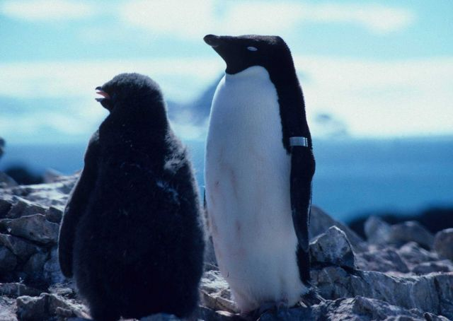 An adult Adelie penguin stands beside a nearly grown chick Picture