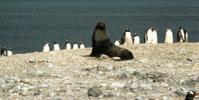 An Antarctic fur seal with gentoo penguins. Picture