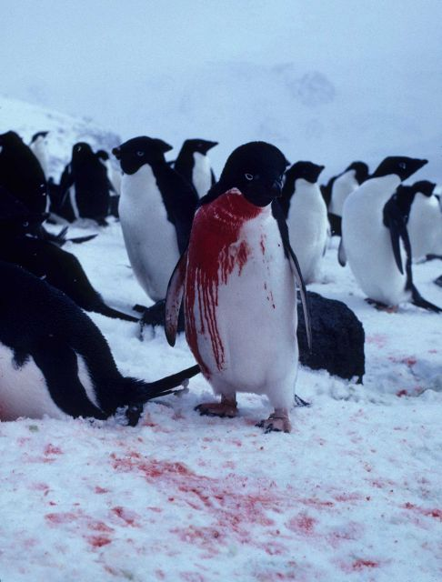 This injured Adelie penguin seeks the refuge of its breeding ground, but may not survive. Picture
