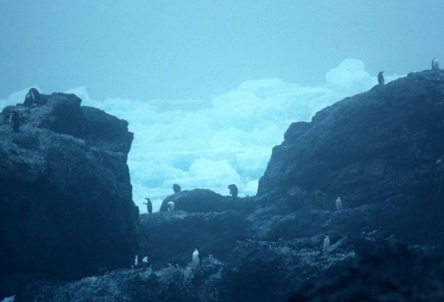 Chinstrap penguins at Seal Island in 1991. Picture
