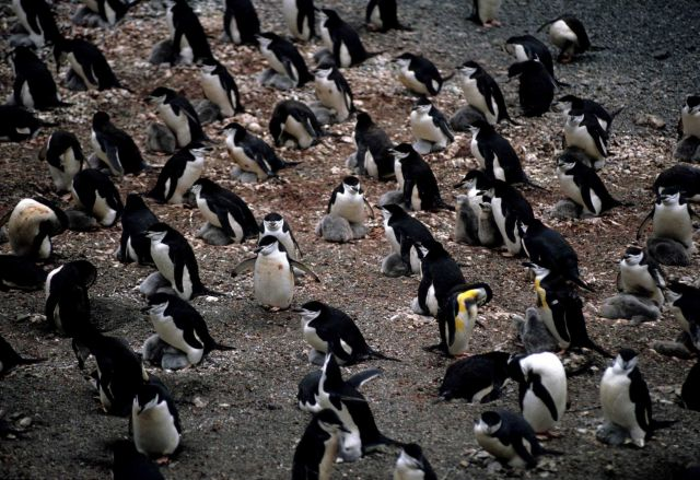 A colony of chinstrap penguins Picture