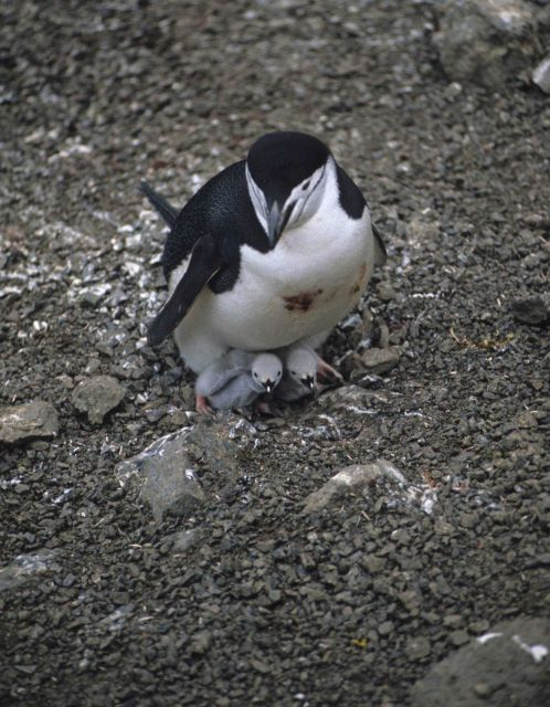 An adult chinstrap penguin with two chicks. Picture