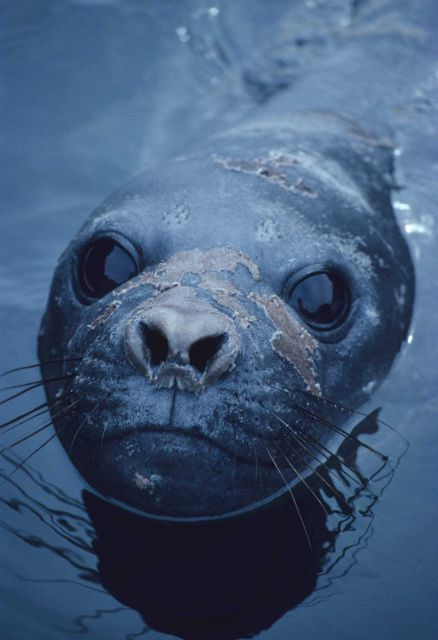 Patches of molting skin are visible on the nose of this female elephant seal. Picture