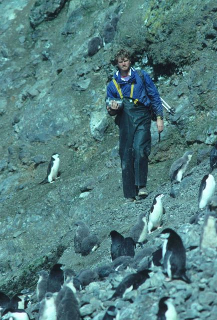 A biologist counts his way through a chinstrap penguin colony on Seal Island. Picture