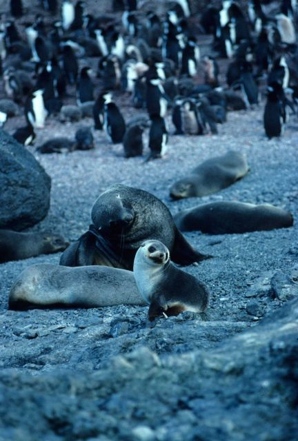 An Antarctic fur seal at Cape Shirreff, Livingston Island. Picture