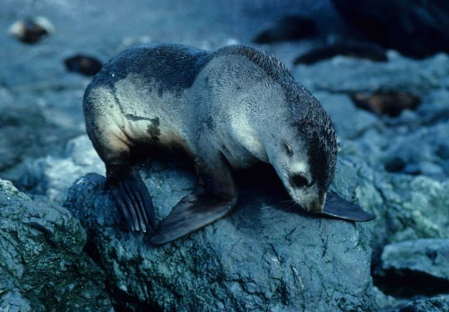 A yearling Antarctic fur seal. Picture
