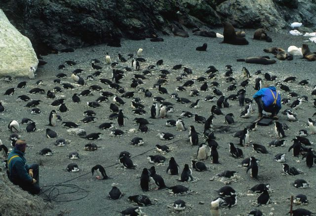 AMLR scientists set up a hidden scale that will measure penguins as they walk over it or sit on it. Picture