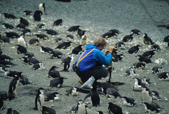 An AMLR biologist buries a scale in a penguin colony on Seal Island. Picture