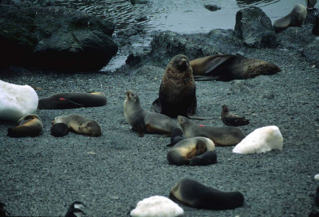 A fur seal snoozes with a penguin colony in the distance. Picture