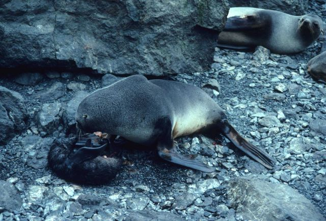 A fur seal mother with her newborn pup. Picture