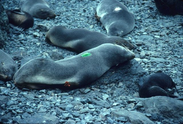 A fur seal with a flipper tag and radio transmitter. Picture