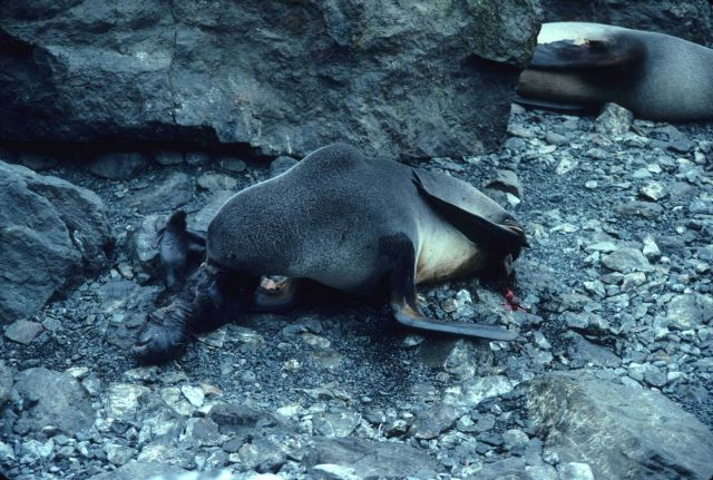A fur seal with a flipper tag, and her newborn pup. Picture