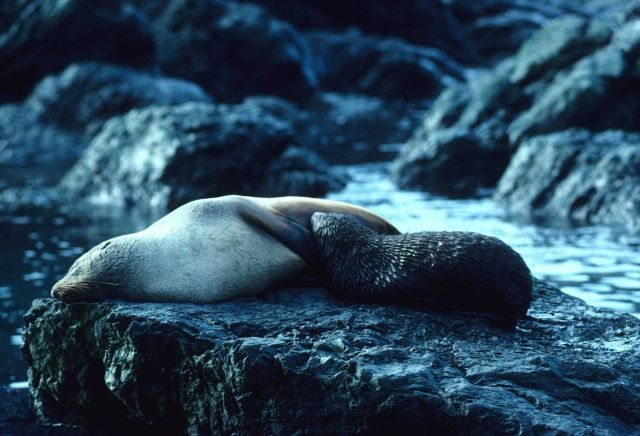 A nursing Antarctic fur seal pup . Picture