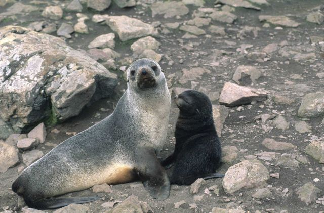 Antarctic fur seal mom and pup. Picture