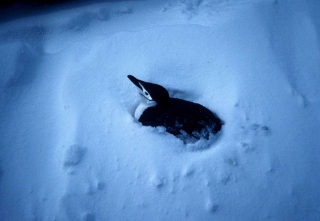 A chinstrap penguin guards its nest after a snowstorm. Picture