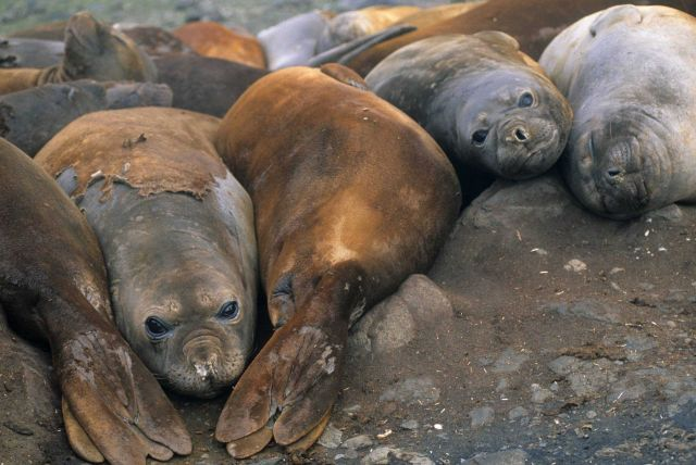 A group of female Southern elephant seals in molt. Picture