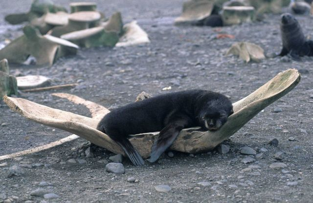 This young fur seal has discovered a comfortable resting spot, in the pelvic bone of a whale Picture