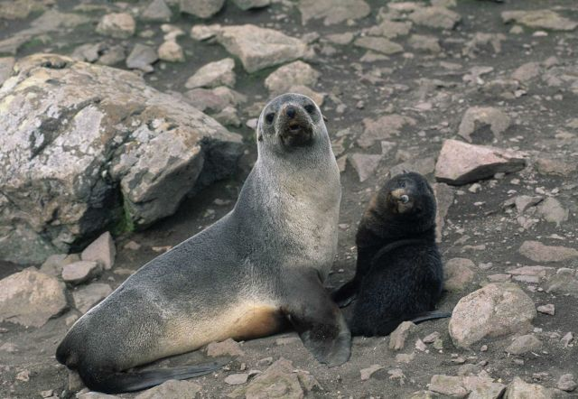 Fur seal mother and pup. Picture