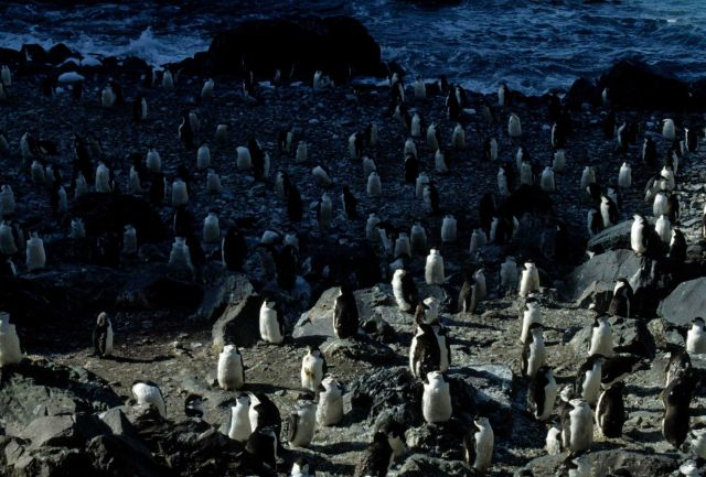 A chinstrap penguin colony on Seal Island. Picture