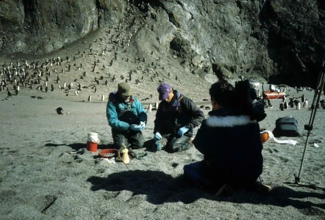 A chinstrap penguin being instrumented with a Time Depth Recorder (TDR). Picture