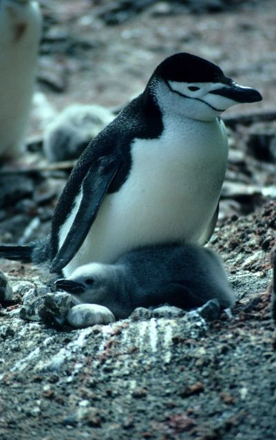 Chinstrap penguin with chick. Picture