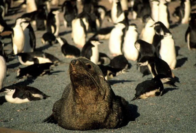 A fur seal amongst penguins. Picture
