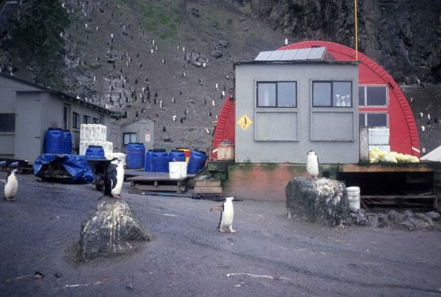 Penguin crossing at the Seal Island field station. Picture
