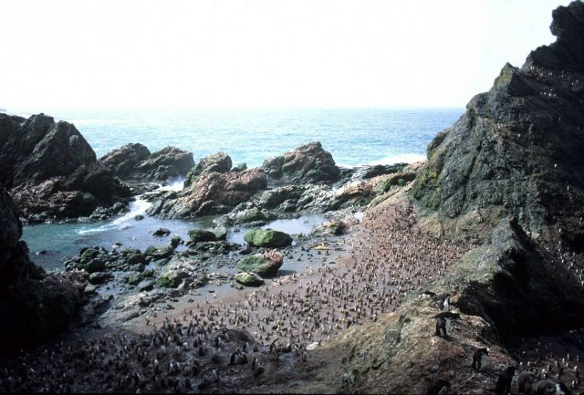 Antarctic fur seals and chinstrap penguins at North Cove, Seal Island. Picture