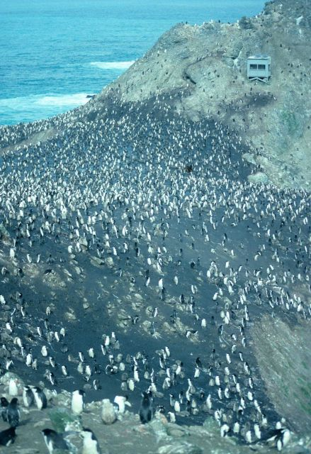 Observation blind at Big Top chinstrap penguin colony, Seal Island. Picture