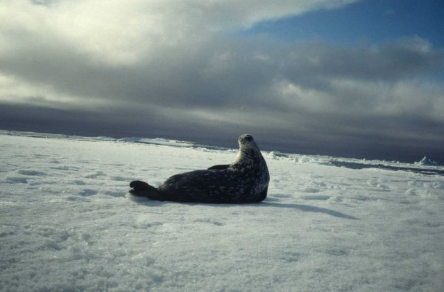 A Weddell seal on the ice Picture