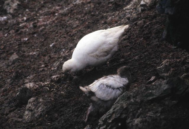 A sheathbill with chick. Picture