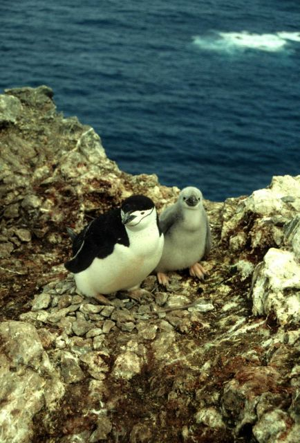A chinstrap penguin with chick. Picture