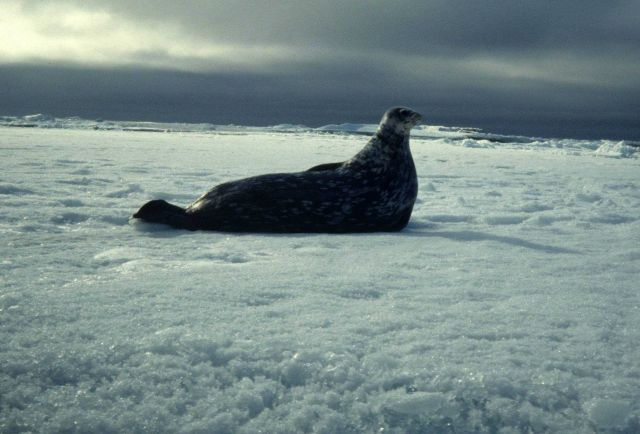 A Weddell seal. Picture