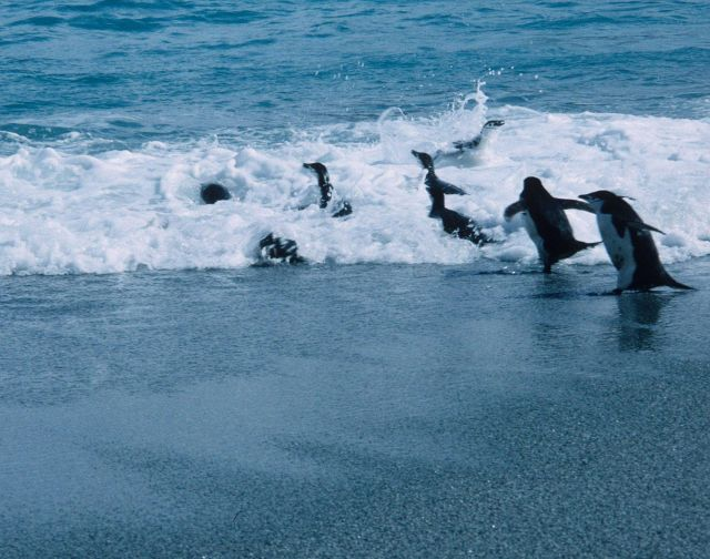 Chinstrap penguins enter the surf on Seal Island. Picture