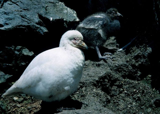A snowy sheatbill and its chick are seen walking amidst the rocks. Picture