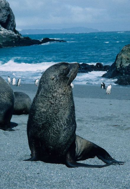 A young Antarctic fur seal. Picture