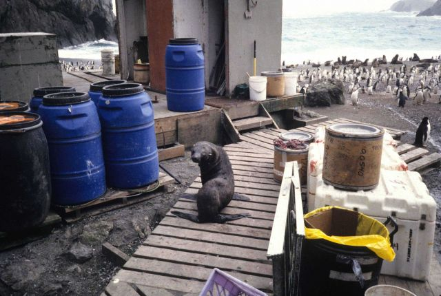 A young Antarctic fur seal explores the AMLR field station at Seal Island. Picture