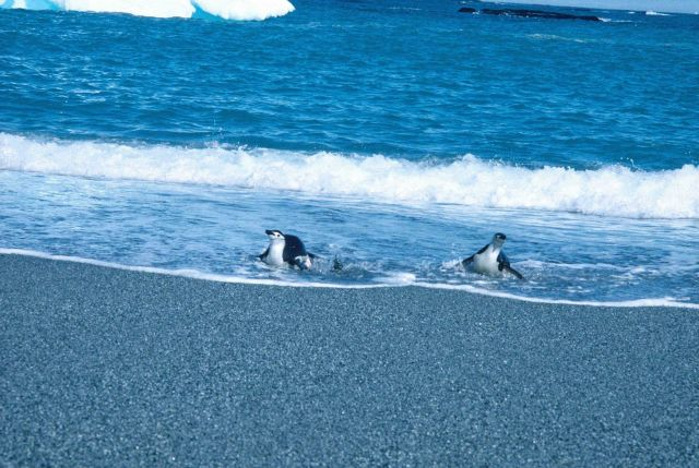 Two chinstrap penguins in the surf at Seal Island. Picture