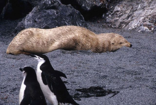 A rare blonde color morph of the Antarctic fur seal rests on the beach. Picture
