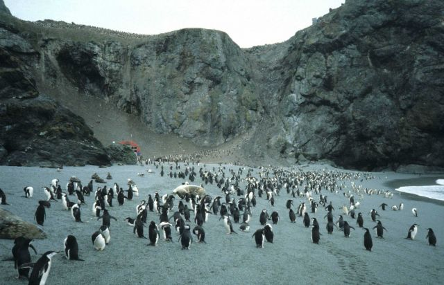Chinstrap penguins and seals at North Cove, Seal Island. Picture