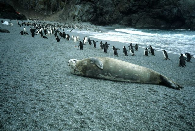 A Weddell seal at North Cove, Seal Island. Picture