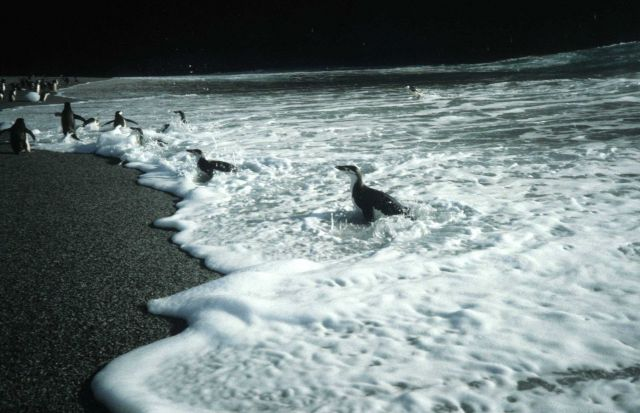 Chinstrap penguins in the surf at Seal Island. Picture