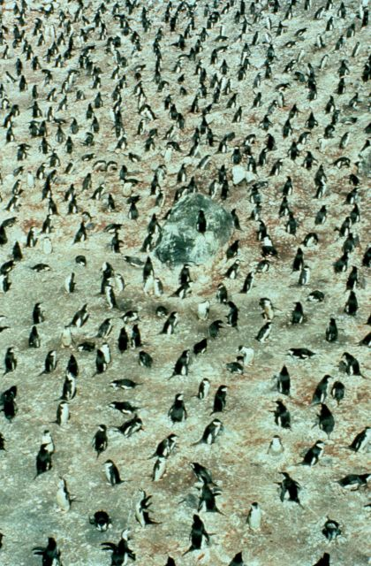 Chinstrap penguins on nests, Seal Island. Picture