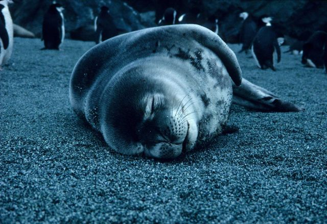 A resting crabeater seal at Seal Island. Picture