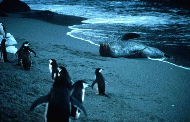 A group of chinstrap penguins on the alert near a leopard seal. Picture