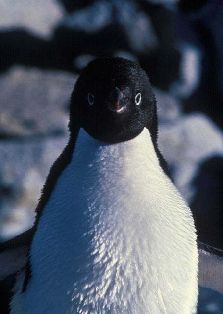 An Adelie penguin. Picture