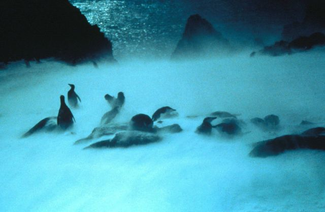 Hardy chinstrap penguins weathering an Antarctic storm. Picture